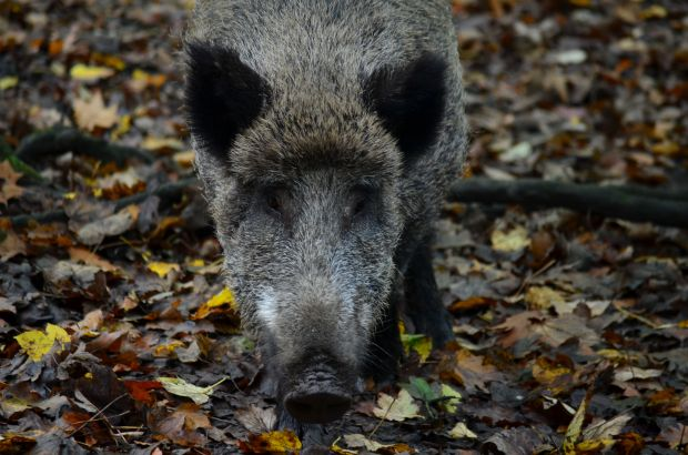 Wild boars are a potential carrier of ASF.