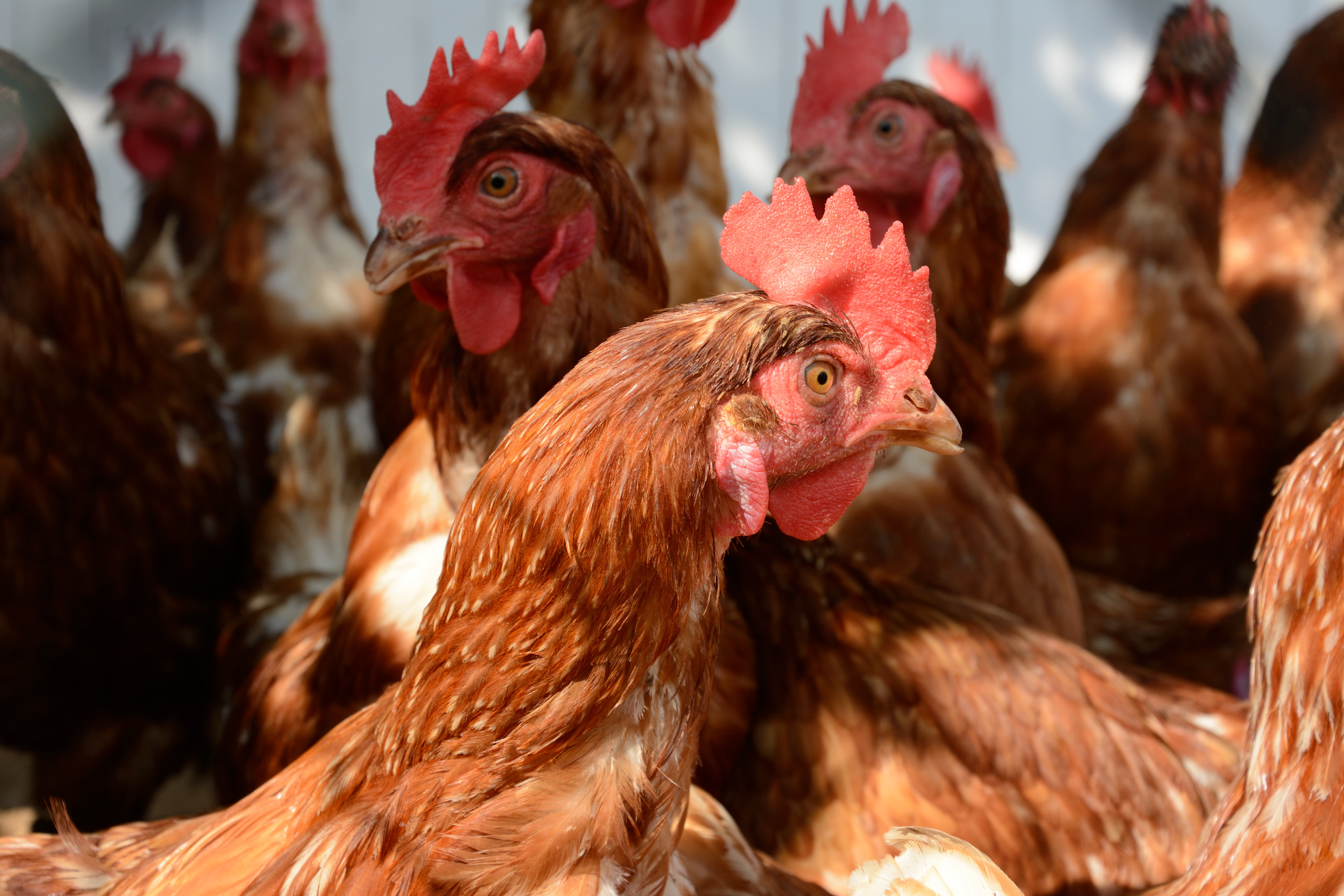 Russia: Ban for poultry from Bulgaria