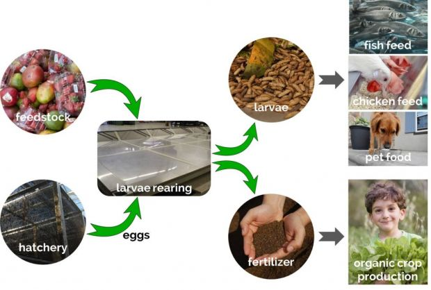 After a 14-day feeding cycle, the larvae from the black soldier fly are harvested and processed into sustainable animal feed ingredients.
