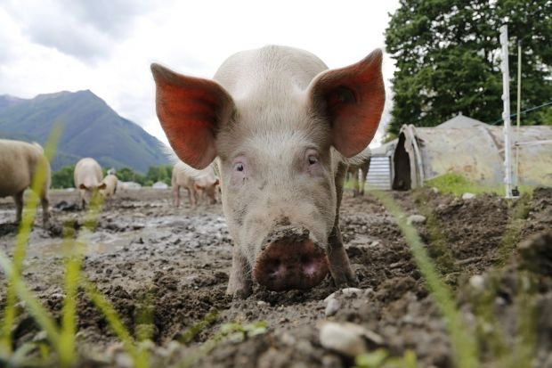 Currently, China is not approved for the import of fresh or frozen pig meat to the EU.