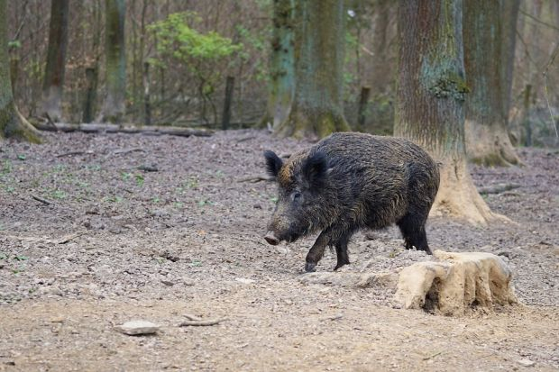 So far nine wild boars have been detected with ASF in the Etalle infection zone in a circle of two kilometers. Now there is a preventional clearance of domestic pigs in the buffer zone planed.