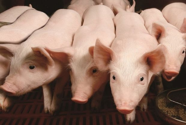 The meat producer hosts an independent inspection of its pigfarms by ecological NGO Ecopatrol.