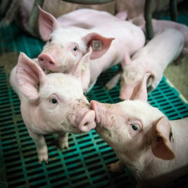 Germany's total pig population decreased by 2% in the last ten years.