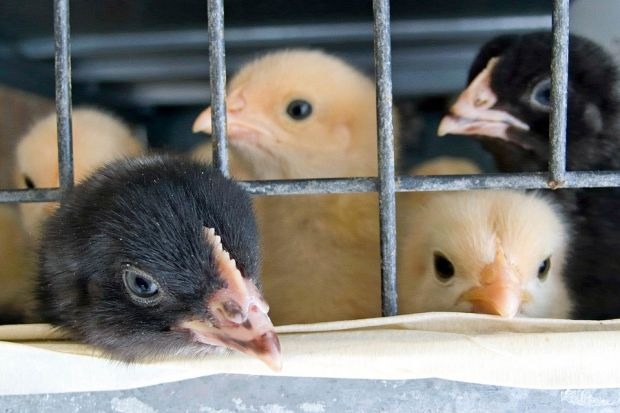 Male chicks are killed shortly after hatching. According to the court, this affected about 45 mill. chicks in Germany in 2012.