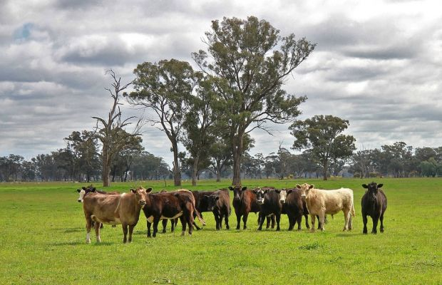 Rabobank-modelled cattle prices for 2019 are lower than 2018 prices, but rain will drive much bigger price swings than we have seen in the past.