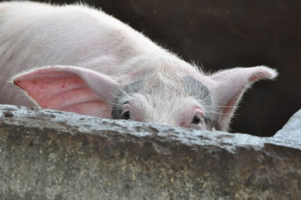The lower pig population as well as the increased number of piglets and pigs exported abroad also caused the Danish pig slaughter rate to fall significantly.