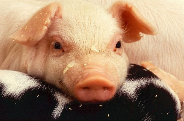Despite no statutory requirement, the FDA currently holds regulatory authority over gene editing in food-producing animals.