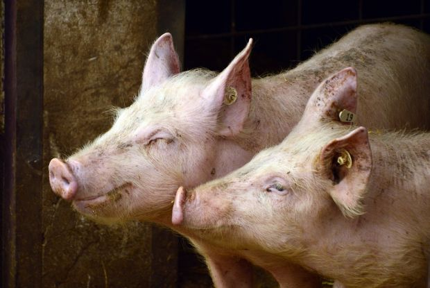 Following reports that a meat processor is involved in importing pork from Poland IFA demands an immediate ban on any pork imports from countries affected by ASF.
