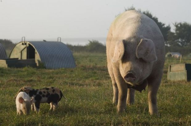 Packington is a local pig business.