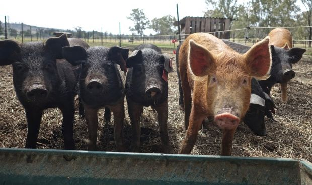 PED affects pigs but poses no risk to human health.