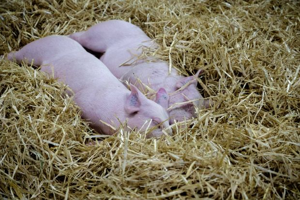The EU does not import much pig meat; however, imports rose 18% year-on-year in January.