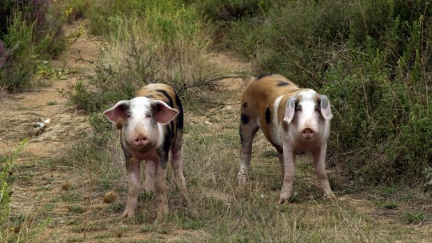 All farmed pigs and hogs in an area of 3 km from the farm were culled.