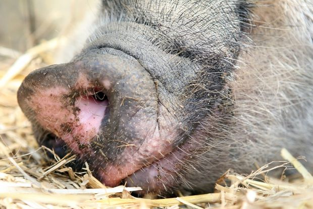 The number of breeding pigs, which is important for the further development of production, grew in the US and Canada only below average by 1%.