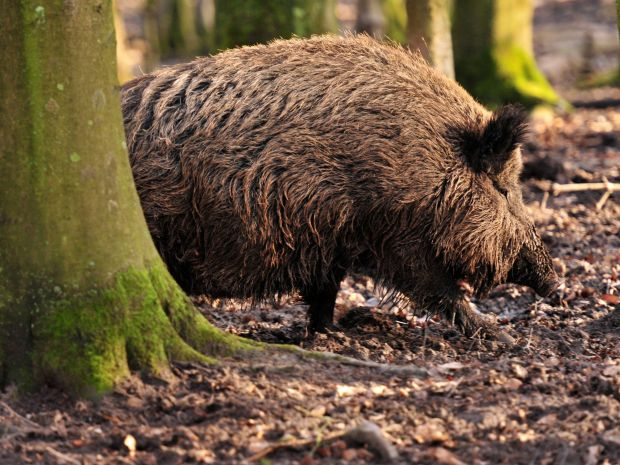 The wild boar population is decimated preventively.