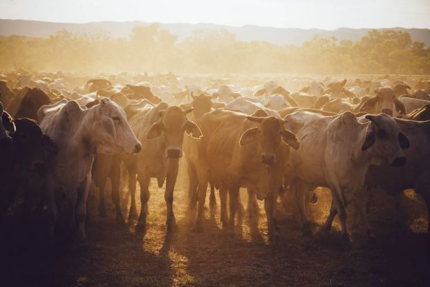 Demand for livestock is increasing due to the reduction in air transit limiting access to chilled/frozen meat.