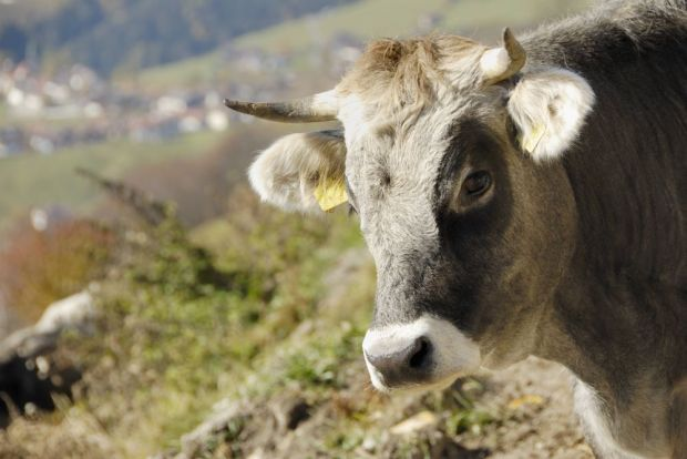 Prices for young bulls rose most strongly in Italy.