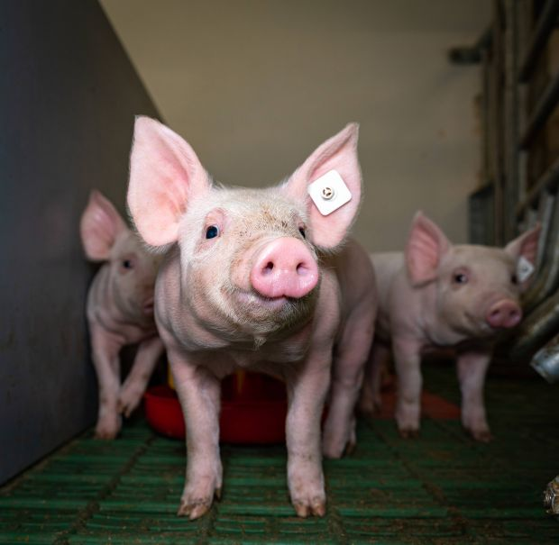 Pig farmers who are located in the security zones within a radius of 15 km are currently not allowed to hand over animals to slaughterhouses. This also applies to piglets that should be delivered to fattening farms.