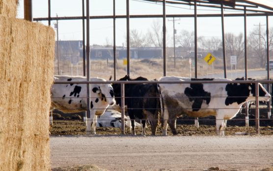 Unusually cold temperatures and snowfall across Texas and the Southern US Plains have killed cattle and idled meat plants due to power outages.