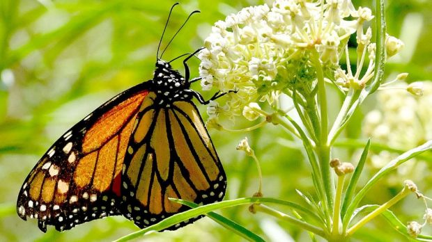 The meat company is also participating in a major nature conservation project to protect the monarch butterfly.