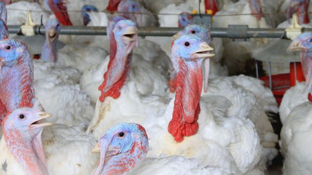 The authors of the study call for adequate space, rearing opportunities, occupational materials and suitable bedding for the turkeys.