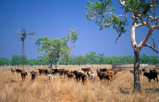 After surviving the drought, Australian ranchers are concentrating on increasing their herds.