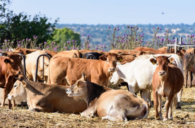 The prices for slaughter cattle in Italy rose at an above-average rate compared to the EU.