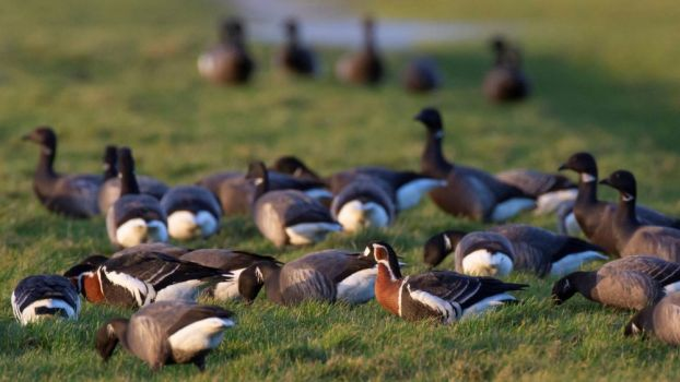 The spread of avian influenza follows the migration routes of migratory birds.