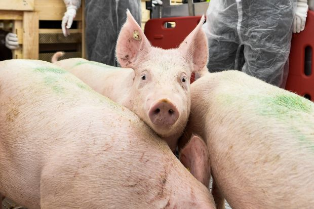 The pig farmers in Denmark have further increased their pig stocks this autumn.