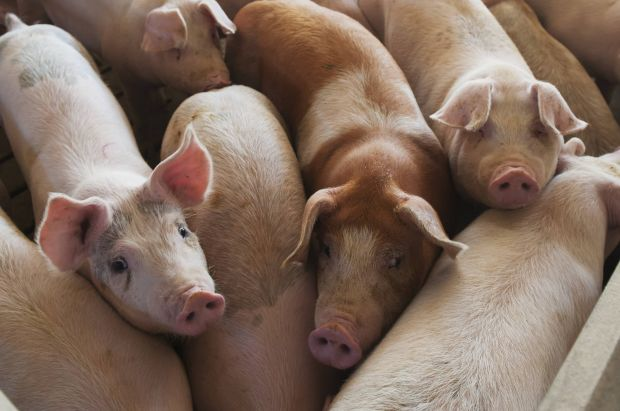 Many pigs cannot be brought to slaughter in the USA at the moment because the slaughter lines are at a standstill.