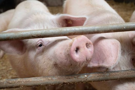 African swine fever is one of the biggest problems globally, limiting producers, producers and trade.