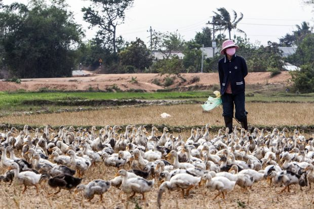 Vietnam has a poultry flock of around 460 million birds, and small-scale bird flu outbreaks have occurred sporadically in the country during the past few years.