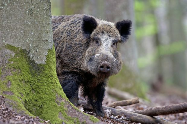The last ASF-positive test on a fresh carcass of a dead boar, found within the zone, goes back to 11 August 2019.