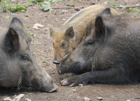 The campaign is aimed at groups of people and individuals who come into contact with domestic pigs and wild boar.