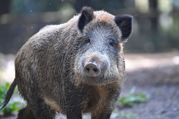 Germany argues that so far only wild pigs are affected by ASF.