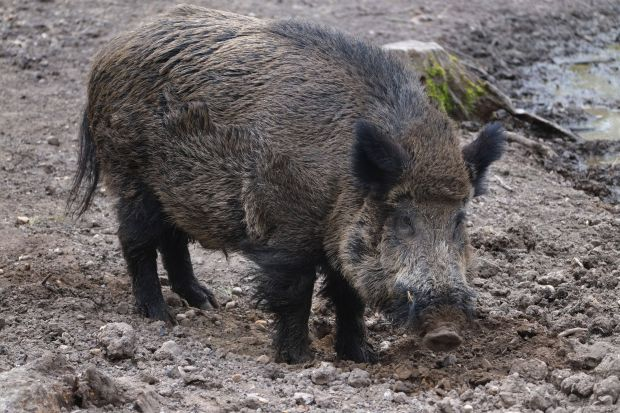 Dead wild boars were again found not far from the German-Polish border.