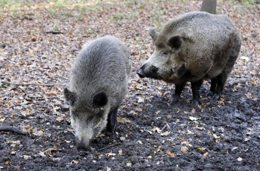 Wild boars are introducing African swine fever into the European Union.