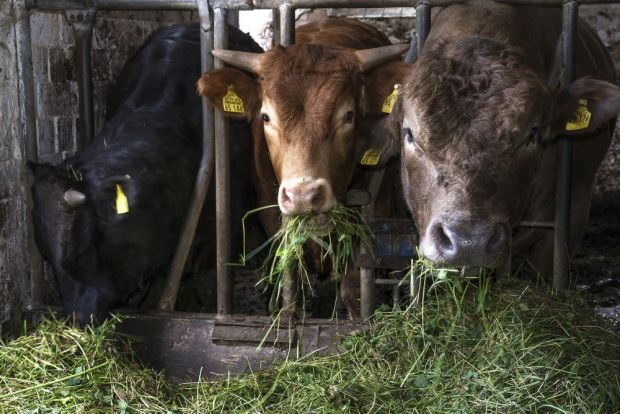From 2027 on, cattle in Denmark must be kept in loose housing.