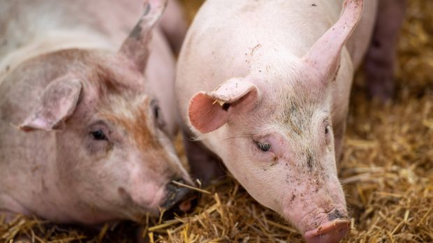By participating in the early detection program, pig farmers can save time and money when marketing their animals in the event of an epidemic.