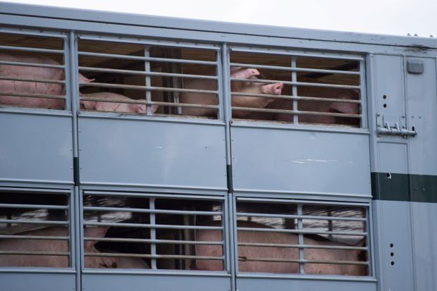 Slaughter animal dealers re-started to supply the slaughterhouse in Rheda.