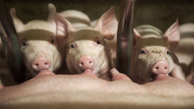The USDA projected sows that will give birth to piglets will drop by 4% from June to August, compared to a year earlier.